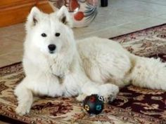 Lola is an adoptable Samoyed Dog in Los Angeles, CA. Lola is a wonderful Samoyed. Smartest dog her owner has ever owned. Purebred but did not register her. She's also on the small side, about 38 pound...