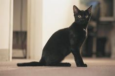 You probably couldn't tell a British Bombay from an American Bombay cat at first glance. They may look the same on the outside, but differences in breeding set apart these two types of kitties. Both are beautiful, rare and distinctive cats with a sleek appearance and good temperament.