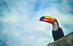 O Tucano (Ramphastos toco) é o maior dos tucanos. Possui um  enorme bico alaranjado, de tecido ósseo - que mede cerca de 20 cm - duro e cortante que funciona como uma pinça para capturar alimento. Sua plumagem é negra, de papo branco. Alimenta-se de frutas, insetos e artrópodes, ovos e filhotes de outras aves. Mede 56 cm de comprimento e pode pesar 540 g. Habita o cerrado  e a mata atlântica. Vive em pares ou em bandos e faz seu ninho em árvores ocas, buracos em barrancos ou em cupinzeiros.