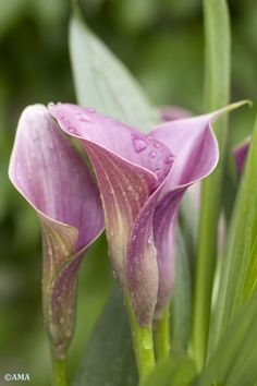 Calla Lilly lavender...look Shell, your two favs together!! :-)