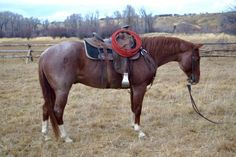 Fancy Red Roan Gelding for Sale - For more information click on the image or see ad  # 58283 on www.RanchWorldAds.com