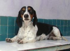 Beautiful piebald dachshund!  Brisa