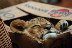 big #cats like boxes, too!