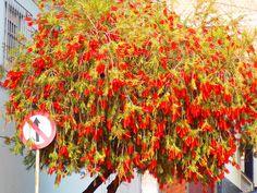 Uma árvore florida, da cidade de Extrema