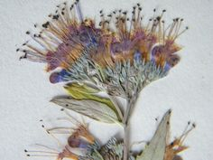 Pressed caryopteris from my garden www.driedflowercraft.co.uk