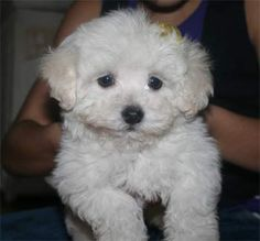Maltipoo Pros: Sweethearts, hypoallergenic....Cons: not a huge fan of curly hair