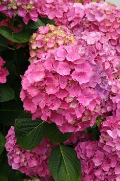 My soon to be former home has a hydrangea out front that blooms this stunning hot pink color