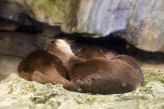otters in winter, at Osaka