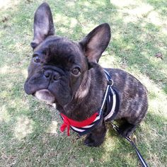 Coconut, the French Bulldog Puppy in a Sailor costume❤️ #french #bulldog #puppy #dog