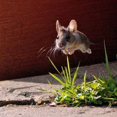 sprinting mouse