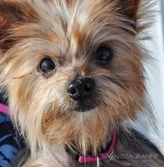 Meet Lady Jean a Petfinder adoptable Yorkshire Terrier Yorkie Dog | Fillmore, IN | I know I�m Older But I Deserve a Home too�I may be older and have some medical problems...