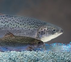 The world's first genetically engineered fish approved for human consumption arriving in supermarkets within two years. Now the legal fireworks begin. http://www.geneticliteracyproject.org/2015/11/19/legal-pr-battles-set-commence-block-fda-approved-gmo-salmon-making-dinner-plate/