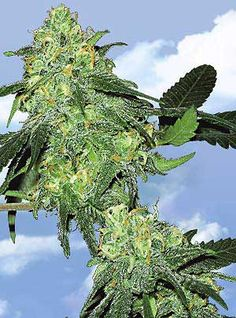 Skunk Classic ~ The original Skunk #1 gave rise to several variations that were later harvested in the gardens of Sensi Seeds, Dutch Passion, Flying Dutchmen, Nirvana Seeds, and Royal Queen Seeds. As its name suggests, Skunk #1 buds radiate with an aromatic blend of sour skunkiness and subtle earthy notes. This hybrid offers elevated creativity through its high-energy buzz, while stress and appetite loss melt away with Skunk #1's potency.