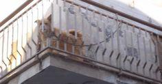 Sequestrato il cane a catena sul terrazzo. Denunciato il proprietario