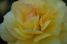 Love the blush of pink on this yellow rose.