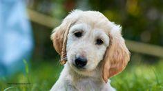 Khau Carreras Nbé #Afghanhound #puppy