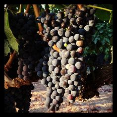 Lookin' good! Cabernet Sauvignon Yountville Napa Valley  8/14/12 by craig.camp, via Flickr