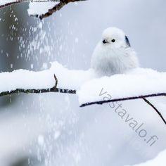 Pyrstötiainen - pyrstötiainen Aegithalos caudatus lintu linnut varpuslinnut pyrstötiaiset pienikokoinen lumi