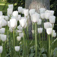 Tulipe Simple Maureen, Plantes pour le jardin - Promesse de fleurs #jardin…
