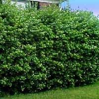 Holly - Nellie Stevens - Hedges - Bushes & Shrubs - It can withstand more shade than any other evergreen. They can also withstand poor soil, drought, summer heat and even neglect.