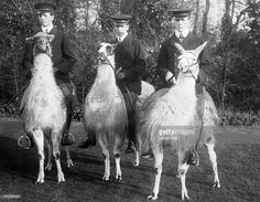 Three men riding on llamas - Published by: 'Praktische Berlinerin' property of ullstein bild Get premium, high resolution news photos at Getty Images Funny Llama, Uk History, High Fantasy, Old Photos, Sheep, Camel, Third, Horses, Alpacas