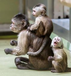 "These rare twin Capuchin Monkeys were born at Zoo Berlin, and excited keepers say they are ""developing magnificently"". See more adorable pics, at ZooBorns: http://www.zooborns.com/zooborns/2016/11/twin-monkeys-could-help-with-mid-week-blues-.html"