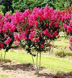 Crepe Myrtle trees are all over the south. I saw them lining the streets of Atlanta, Georgia and fell in love. Unfortunately growing them in northern NJ was not an option. I am growing three in southern PA and they are gorgeous!! If you are not in the south, trying planting them in a southern exposed area with a little shelter. A very cold winter could break your heart, but so far I've had luck.