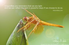 Dragonflies are reminders that we are light and we can reflect the light in powerful ways if we choose to do so.