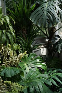 monstera deliciosa in the tropical house chicago botanic garden darker than