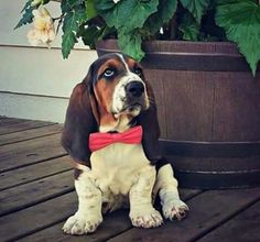 Basset baby with a bow tie.