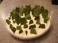 How For Making Your Landscape Search Excellent Christmas Cactus Care Walter Reeves: The Georgia Gardener Growing Succulents, Cacti And Succulents, Planting Succulents, Planting Flowers, Propagating Succulents, Christmas Cactus Plant, Easter Cactus, Orchid Cactus, Plants