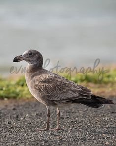 *******DIGITAL INSTANT DOWNLOAD*******  This is an original photograph of a Juvenile Pacific Gull, taken by EVM Photography.  This file is
