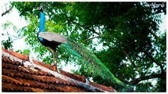 #eternallove #passion #love #photography #birds #canon #700d #instago #instamind #instagood #instamood #instagram #instagraphy #insta #instame #instalove #instapic #photographer #photography #photogram #love #life #lostsoul #peacock #wildlifelover #wildlife http://tipsrazzi.com/ipost/1509246487022874543/?code=BTx668BgS-v