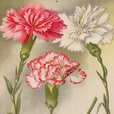 1897 carnations original antique botanical bouquet flower print