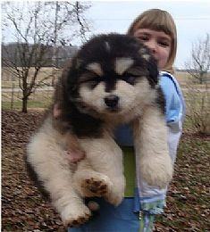 I need this puppy! Giant Alaskan Malamute ;) @Justin Dickinson Pool