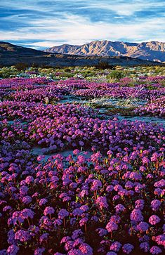 ~~Southern California's desert glory! Don't miss Anza-Borrego's March wildflowers | the beauty of Anza-Borrego's wildflower bloom ― often the best in California, and one of the best in all the West ― is not just the physical display but its ephemeral nature. This is glory on the go | Sunset~~