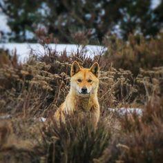 Dingo Dog, Baby Animals, Cute Animals, Australian Animals, Wild Dogs, Hyena, Wildlife Art, Dog Art, Animal Photography