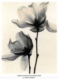 Magnolia Soulangia Saucer Magnolia X-ray Images. Could Make For Pretty Tattoos | Tattoo Ideas Top Picks