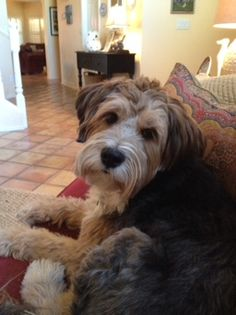 Adoption Pic Love First Sight Bearded Collie Soft