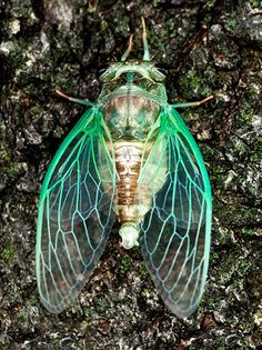 Cicadas always bring me back to my childhood in southeast Texas. A sure sign of the arrival of summer. haufsbeautifulcreatures: love cicadas: Pattern, Insects And Bugs, Cicada, Bugs Insects, Animal Cool Insects, Bugs And Insects, Reptiles, Mammals, Foto Picture, Insect Wings, Dragonfly Wings, Cool Bugs, A Bug's Life