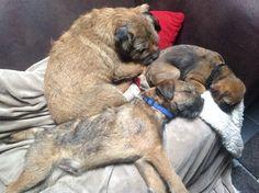 Happy Puppy, Puppy Love, Best Dog Breeds, Best Dogs, Little Brown, Brown Dog, Little Monkeys, Dog Photos, Terriers