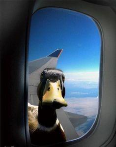 Funny Ducks   Funny Duck (70)