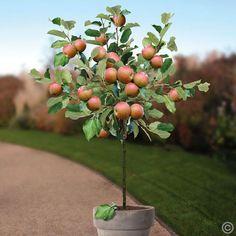 Hochstamm Apfel Coxs Orange Pippin - 1 baum günstig online kaufen, bestellen Sie…