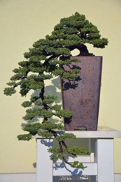 Bonsai stand table for Cascade Bonsai Plants, Bonsai Garden, Garden Trees, Cactus Plants, Bonsai Trees, Flowering Trees, Trees And Shrubs, Fish Ponds, Live Plants