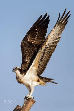 Osprey - See my wings by Nimit Virdi / 500px