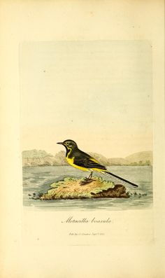 v.3 - British ornithology : - Biodiversity Heritage Library