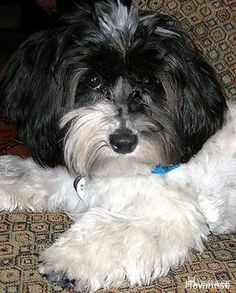 More About Havanese Puppies Newborn Havanese Tan Source by The post Havanese Tan appeared first on Kuba Dog Life. Havanese Puppies For Sale, Havanese Dogs, Cute Puppies, Pet Dogs, Dogs And Puppies, Pets, Doggies, Poochon Puppies, Little Dogs