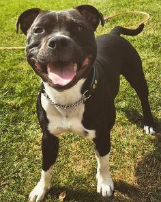Pitbull Mix Puppies, Working Dogs, Duke, Doggies, Pitbulls, Cute Animals, Tattoo, Animaux, Little Puppies