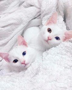 Кошки-близняшки с разными глазами влюбили в себя пользователей Сети