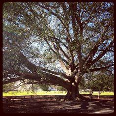 I love big old trees